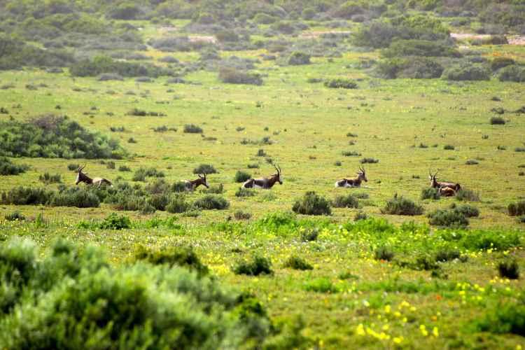 Antilops at West Coast NP
