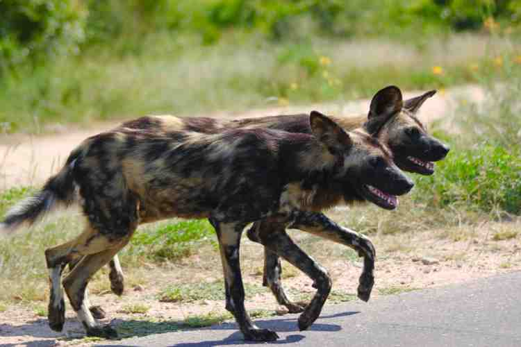 African Wild Dog, also known as Painted Dog or Painted Wolf